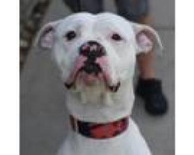 Adopt Dana a Boxer, Pit Bull Terrier