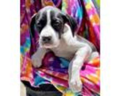 Adopt Big Mac a Black Boxer / Mixed dog in Morton Grove, IL (31134308)