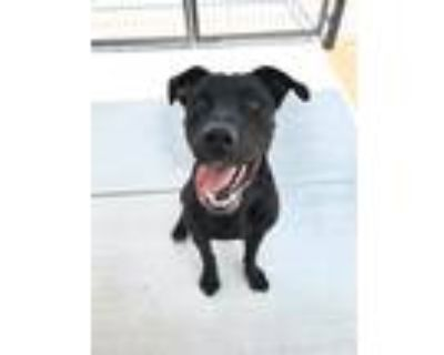 Adopt Bruno a Black - with Gray or Silver Mastiff / Cane Corso / Mixed dog in