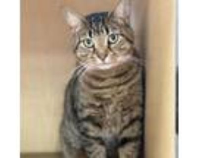 Adopt Kitty Fly a Domestic Short Hair