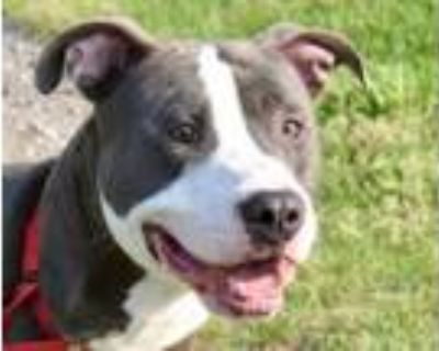 Adopt LEO a Pit Bull Terrier, Mixed Breed