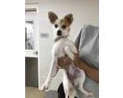 Adopt 48256961 a White Terrier (Unknown Type, Small) / Mixed dog in Fort Worth