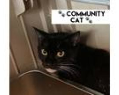 Adopt Marias a Domestic Shorthair / Mixed (short coat) cat in Portsmouth