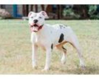 Adopt Sky Sky a White American Pit Bull Terrier / Domestic Shorthair / Mixed