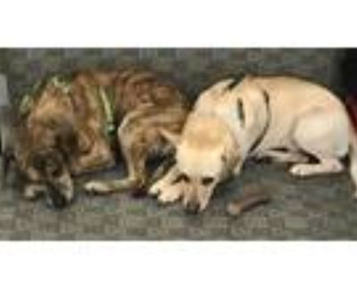 Adopt Stanley & Oliver a Brindle Terrier (Unknown Type, Medium) / Mixed dog in