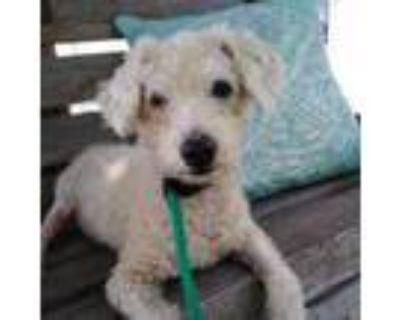 Adopt Stickers a Miniature Poodle, Mixed Breed