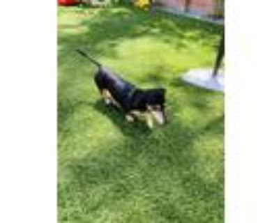 Adopt Dougie a Black - with Tan, Yellow or Fawn Dachshund / Mixed dog in Mobile