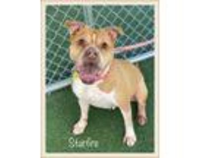 Adopt STARFIRE a Tan/Yellow/Fawn - with White Boxer / Mixed dog in Marietta