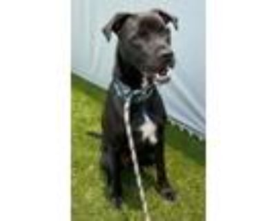 Adopt Paco a Boxer, Mixed Breed