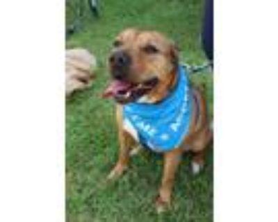 Adopt Hudson a Shar-Pei, Terrier