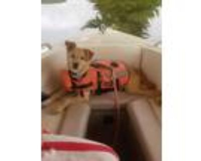Adopt Alvin a Tan/Yellow/Fawn Terrier (Unknown Type, Small) / Mixed dog in West