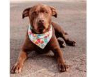Adopt Hershey a Chocolate Labrador Retriever, Coonhound