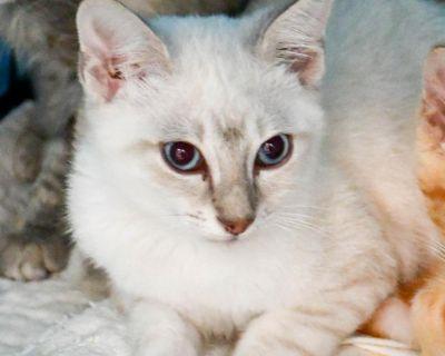 Nook - Domestic Medium Hair/Siamese - Kitten Male