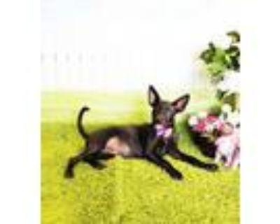 Adopt Mita a Labrador Retriever