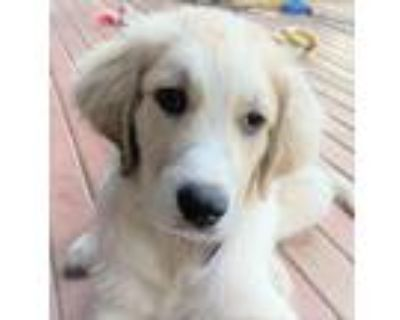 Adopt Wyatt a White Great Pyrenees / Mixed dog in Portland, OR (31502191)