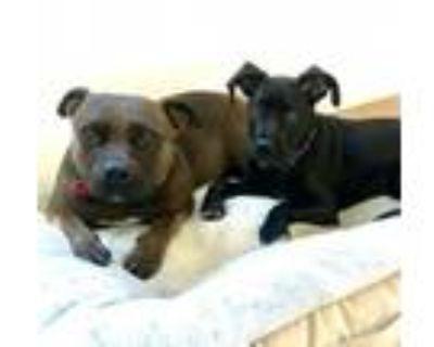 Adopt Albert a Pit Bull Terrier