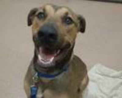 Adopt Wyatt a Red/Golden/Orange/Chestnut Doberman Pinscher / Mixed dog in