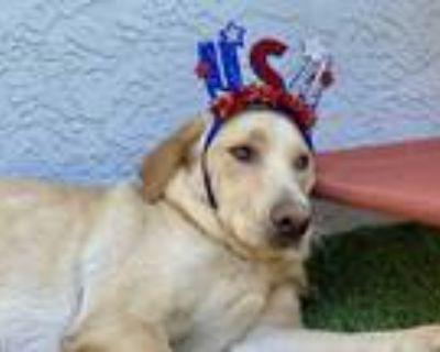Adopt Bucky a Tan/Yellow/Fawn Labrador Retriever / Golden Retriever / Mixed dog