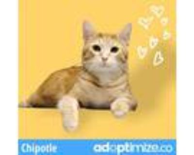 Adopt Chipotle a Orange or Red Domestic Shorthair / Mixed cat in Downers Grove