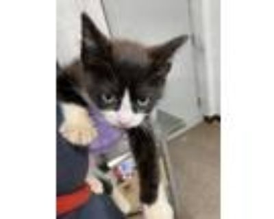 Adopt 47943374 a All Black Domestic Shorthair / Domestic Shorthair / Mixed cat