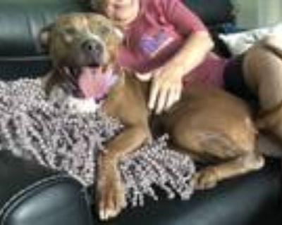 Adopt Carlita a Pit Bull Terrier