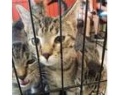 Adopt STONEY a Brown Tabby Domestic Shorthair / Mixed (short coat) cat in