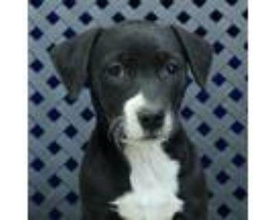 Adopt Muffin a Hound (Unknown Type) / Labrador Retriever / Mixed dog in Midland