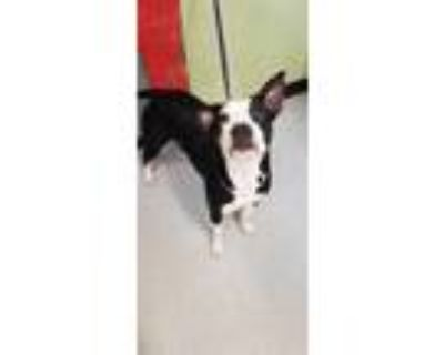 Adopt CANDACE a Black - with White Boxer / Mixed dog in Indianapolis