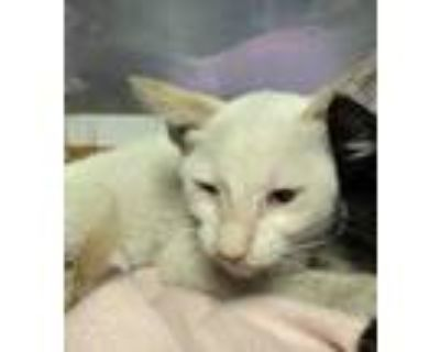 Adopt 48188072 a White Domestic Shorthair / Mixed cat in El Paso, TX (31961297)
