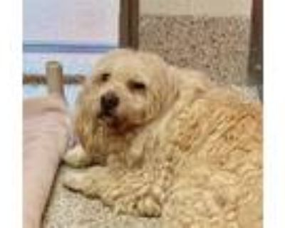 Adopt PAVO* a Poodle, Mixed Breed