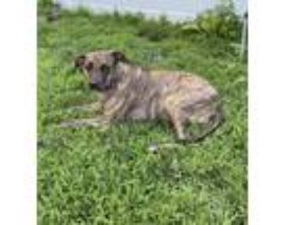 Adopt Mia - local special gal with special needs at GDNE a Plott Hound