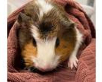 Adopt JELLY a Red Guinea Pig (short coat) small animal in Tucson, AZ (32112826)