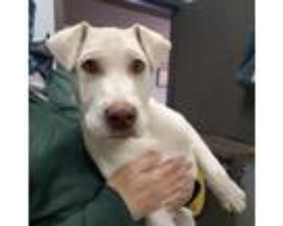 Adopt Dennis a Labrador Retriever