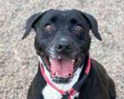 Adopt HERBERT a Black - with White Labrador Retriever / Mixed dog in Mesa