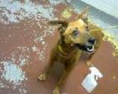 Adopt ACORN a Miniature Pinscher, Rat Terrier