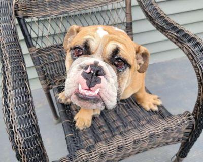 English Bulldog 25 weeks old