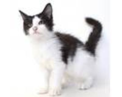 Adopt Chandlerville a Domestic Long Hair