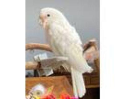 Adopt Carmen a Cockatoo