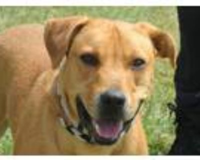 Adopt KAZUHIRA a Labrador Retriever, Mixed Breed