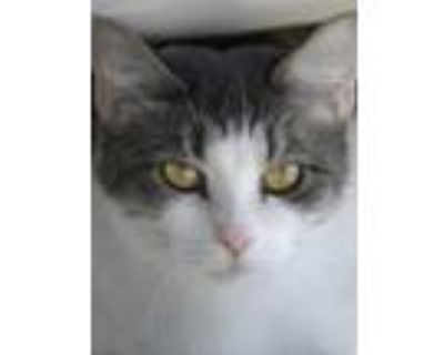 Adopt Petunia a Domestic Shorthair / Mixed (short coat) cat in North Fort Myers