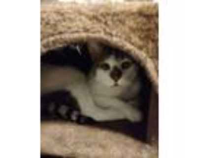 Adopt Livie (Olivia) a Domestic Short Hair, Siamese