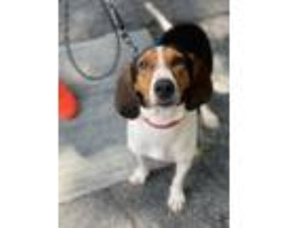 Adopt Piper a Tricolor (Tan/Brown & Black & White) Treeing Walker Coonhound /