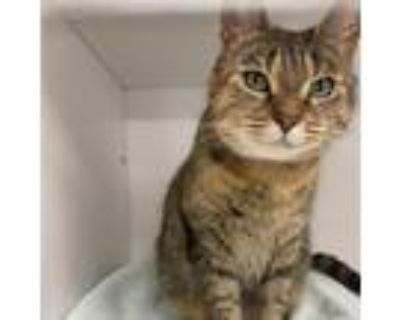 Adopt Valentina a Brown or Chocolate Domestic Shorthair / Mixed cat in Blasdell