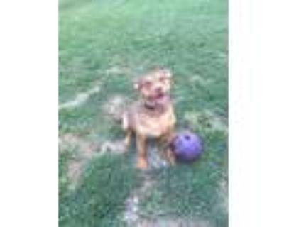 Adopt Pop Tart a Doberman Pinscher, Pit Bull Terrier
