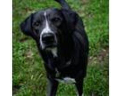 Adopt 21-075 Conner a Black Labrador Retriever / Mixed dog in Hampton
