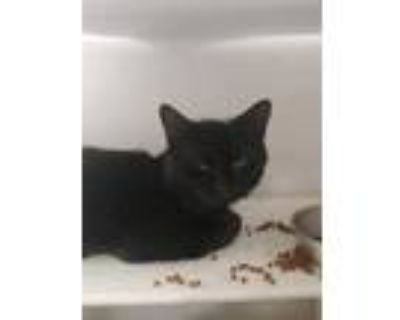 Adopt *TOMMY a All Black Domestic Shorthair / Mixed (short coat) cat in