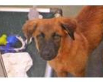 Adopt ZENA a Brown/Chocolate - with Black German Shepherd Dog / Mixed dog in Ft
