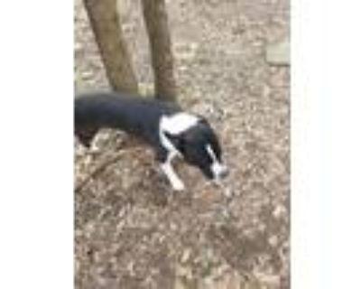 Adopt Buster a Bull Terrier, Boston Terrier