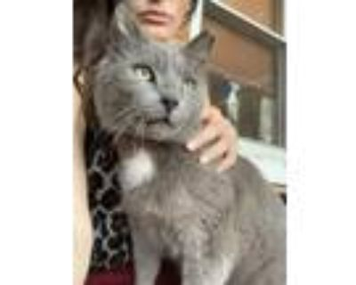 Adopt Elsie a Gray or Blue (Mostly) American Shorthair / Mixed cat in