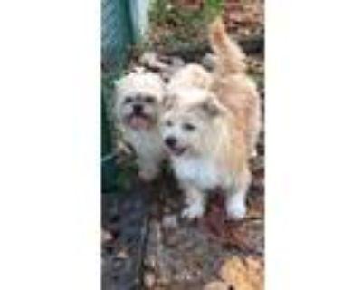 Adopt Marlo & Iggy a Shih Tzu / Mixed dog in Davie, FL (12034680)